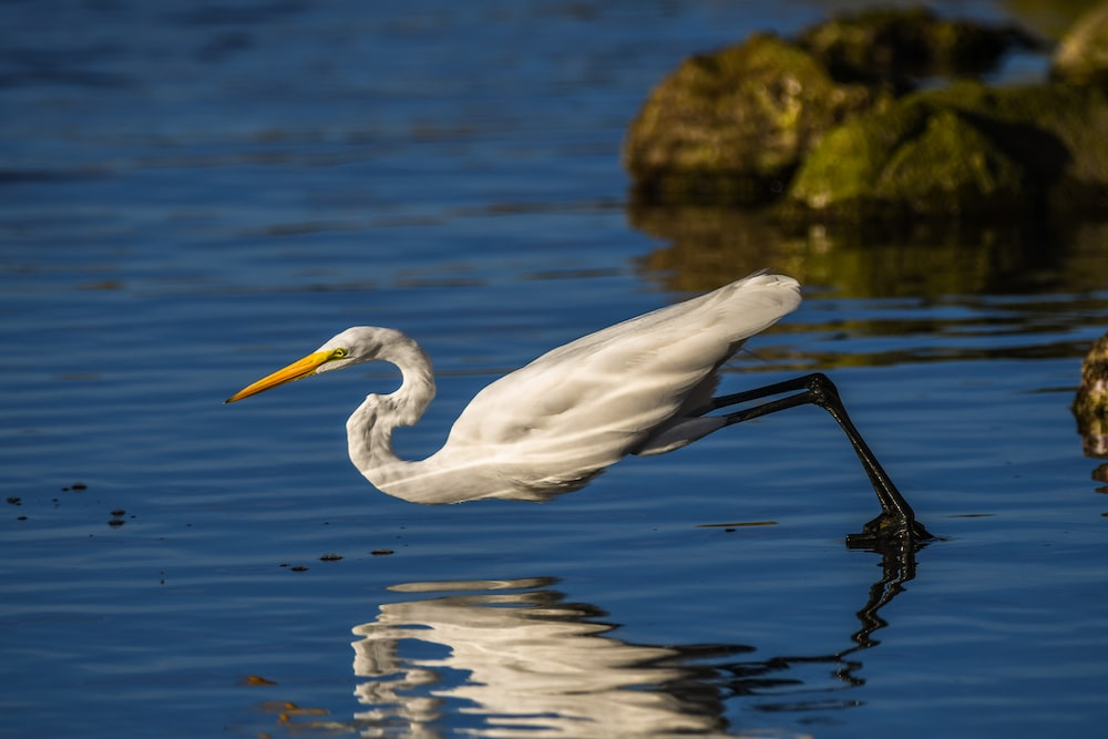 white crane reflection in water