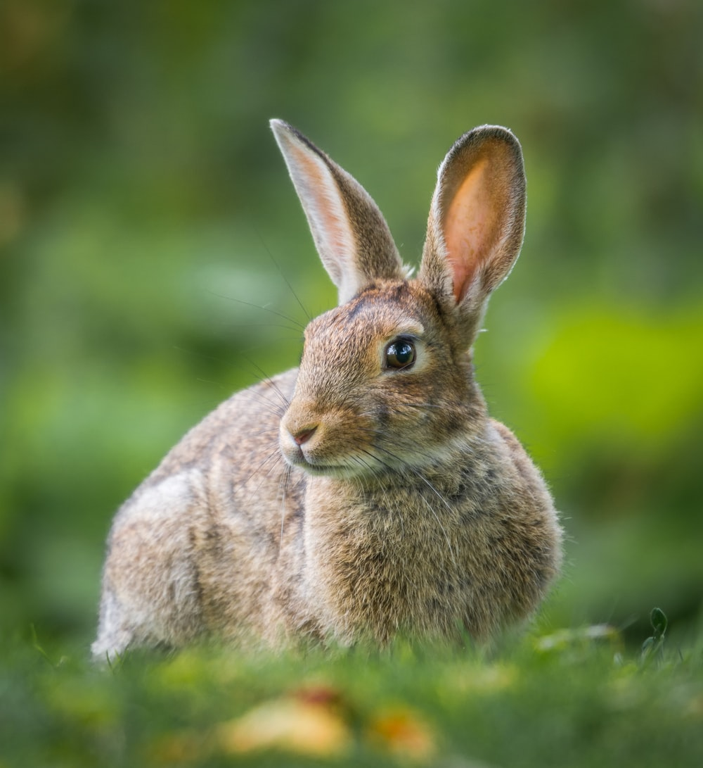 shallow focus of brown rabbit