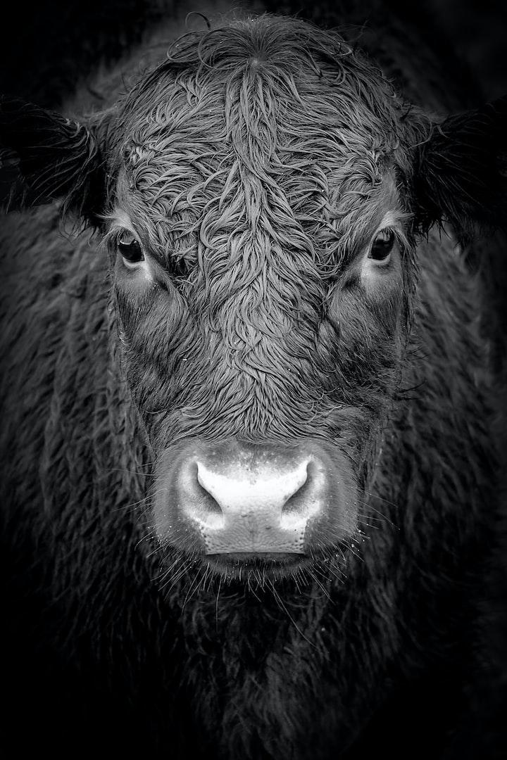 Death by Bull?