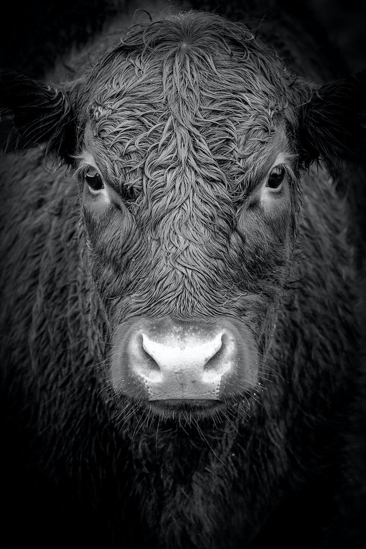 grayscale photo of buffalo