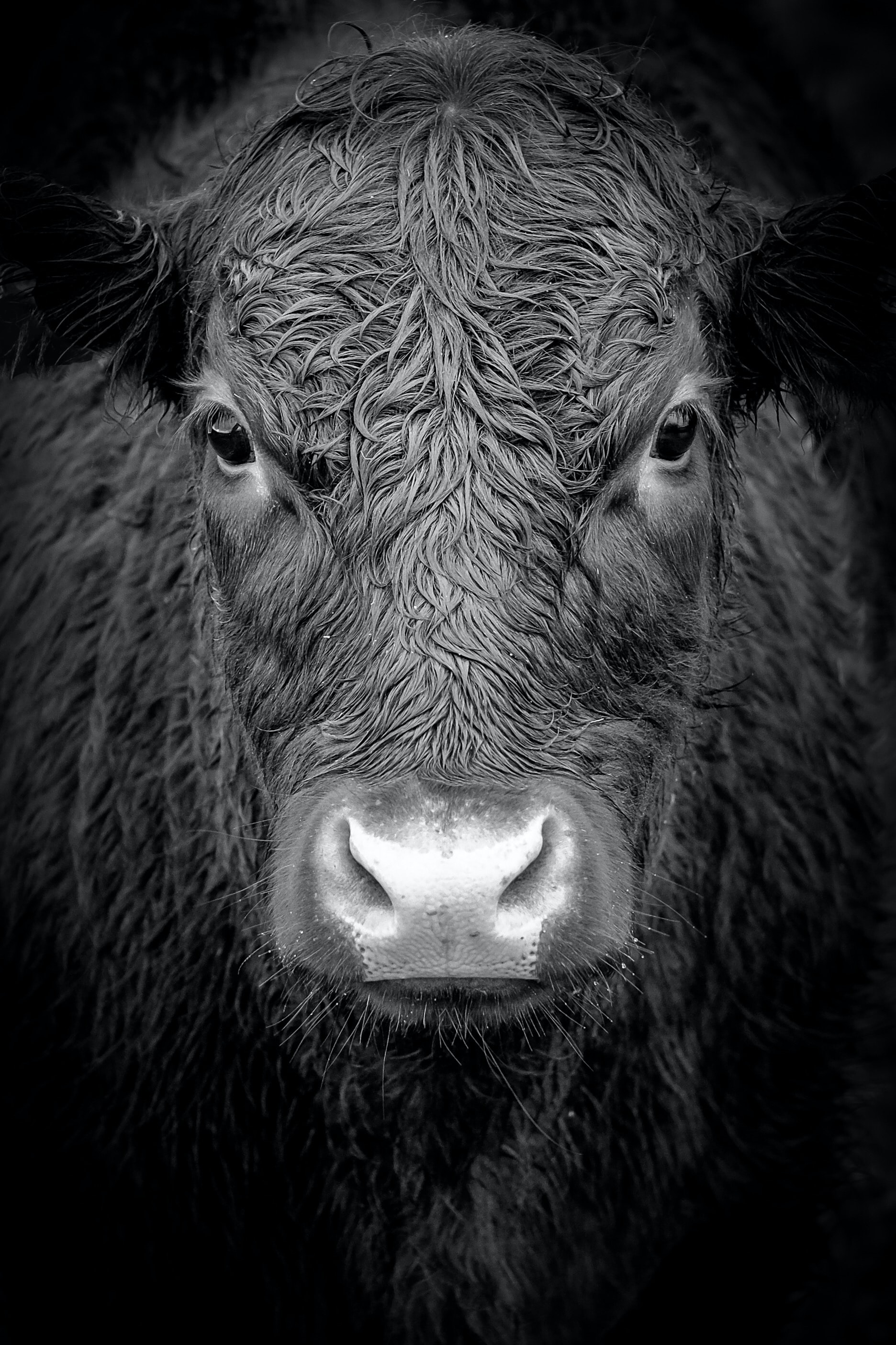grayscale photo of buffalo