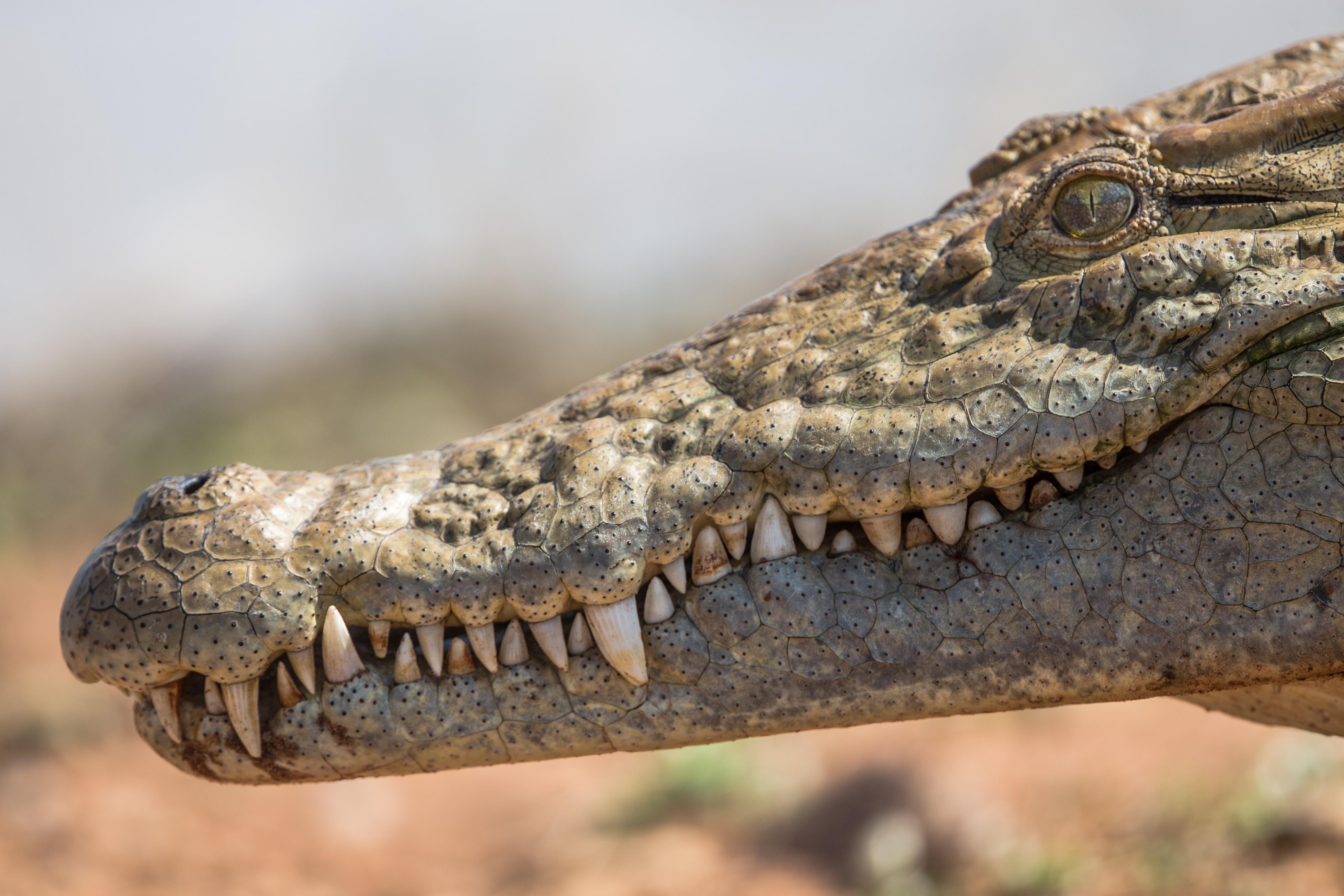 shallow focus photography of crocodile head