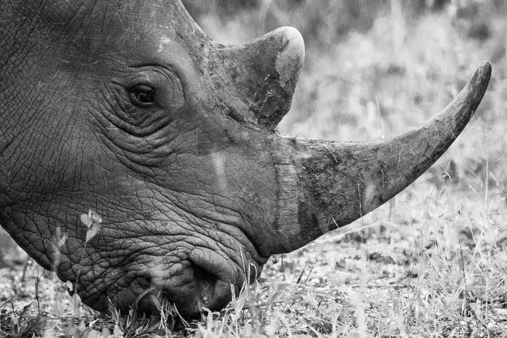 grayscale photography of rhinoceros eating grass