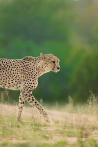 selective focus photo of cheetah