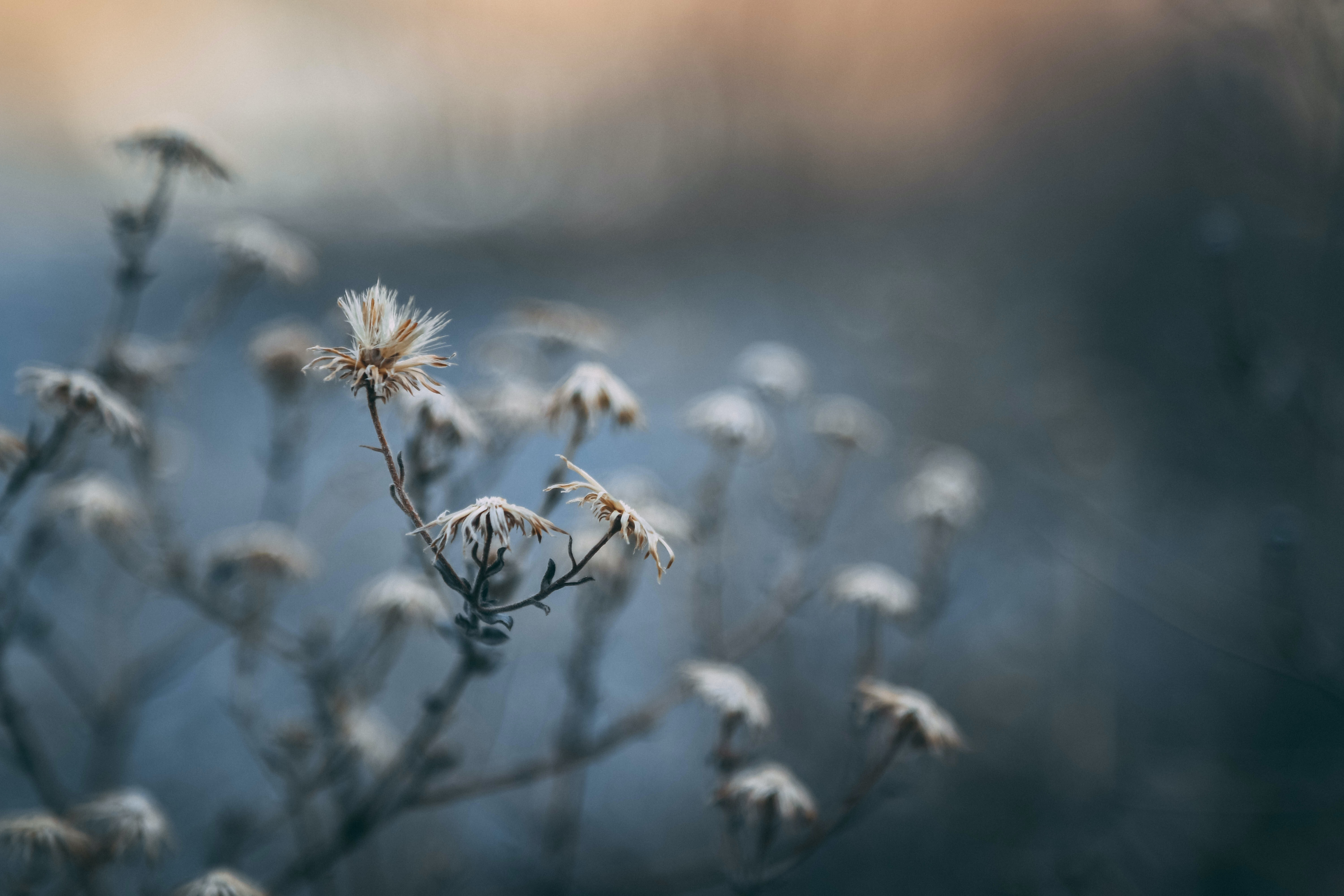 close view of white withered dandelions