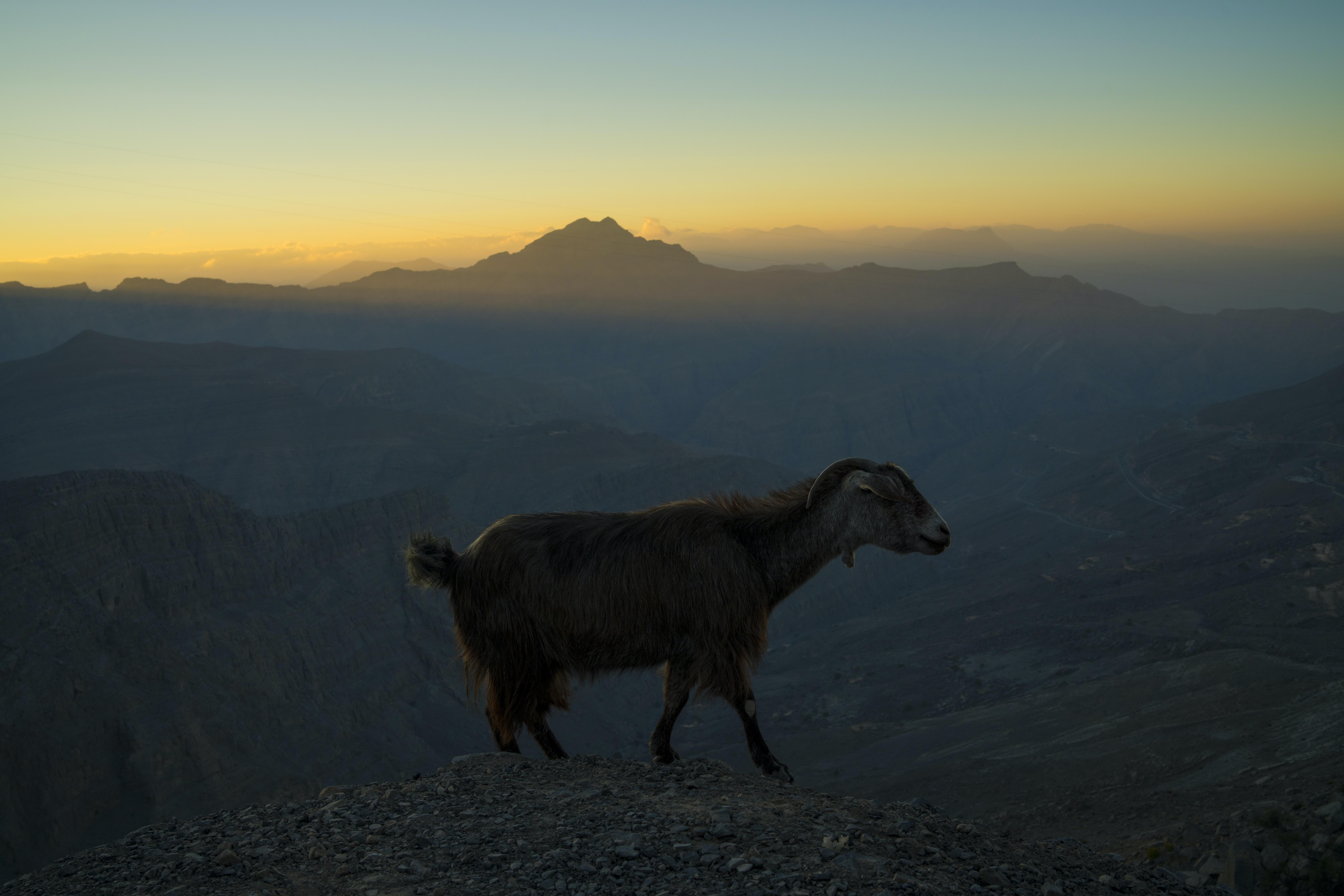 goat on mountain