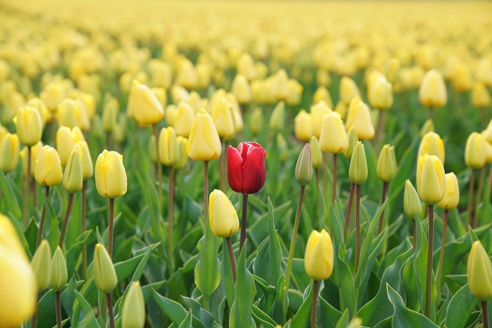 red tulip flower in yellow tulip field