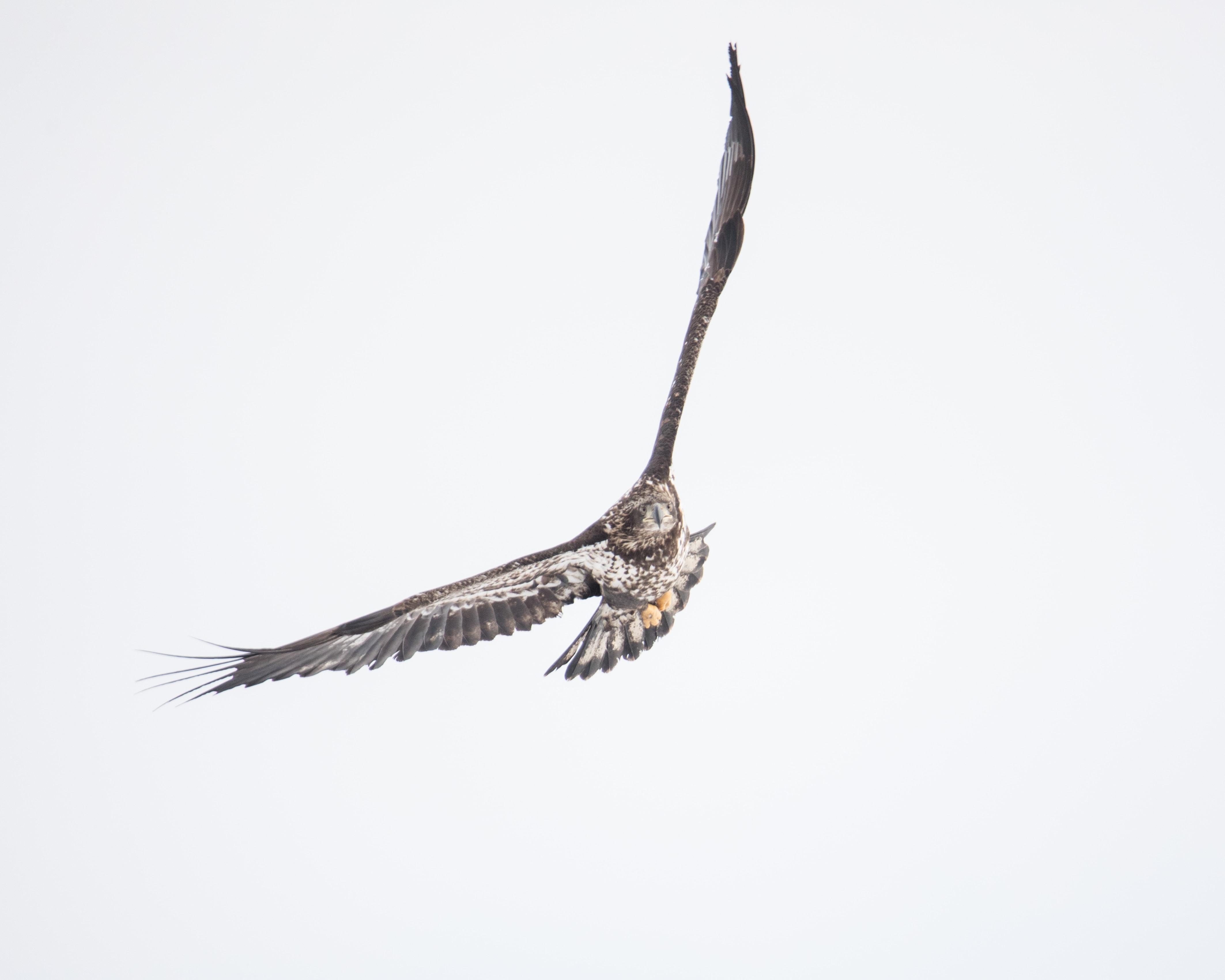 brown owl flying midair