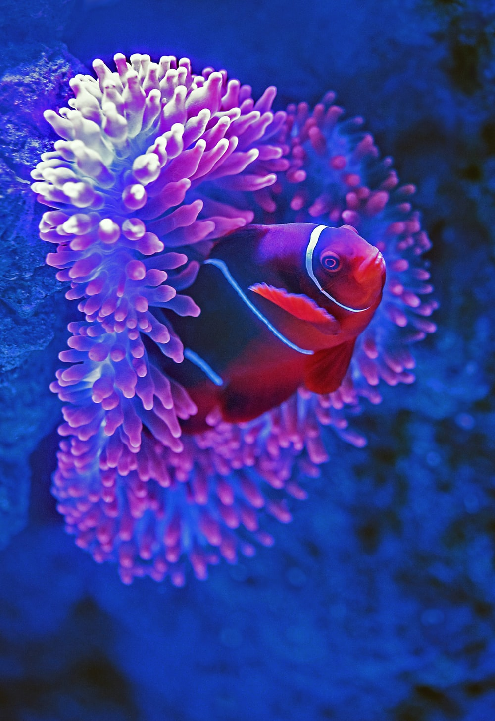 red fish beside pink coral