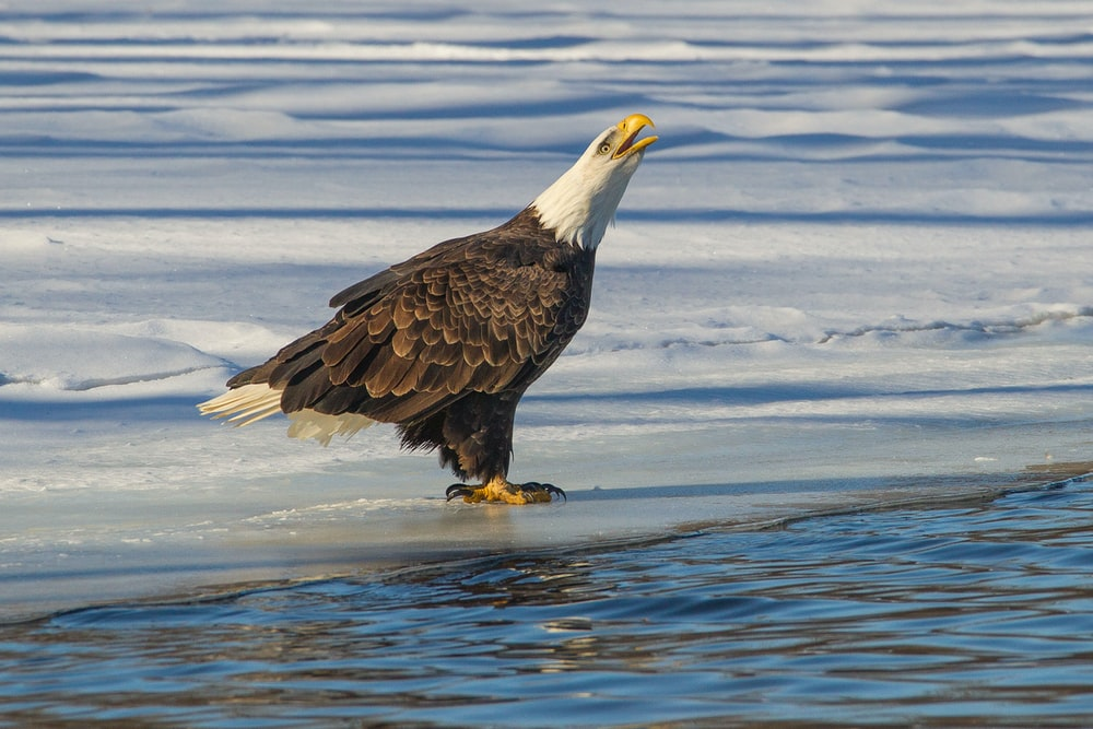 white and brown bald eagle standing on ice