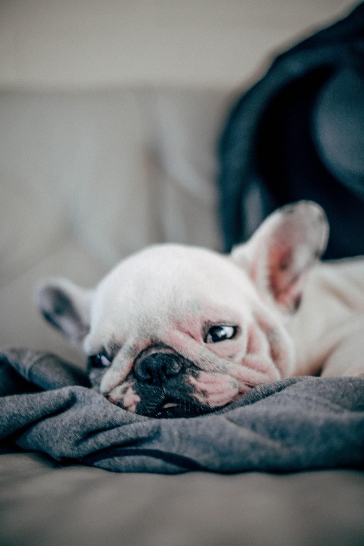 short-coated white puppy