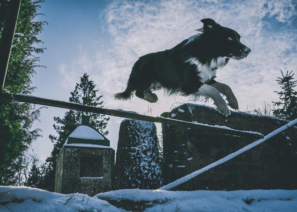 white and black dog jumping forward