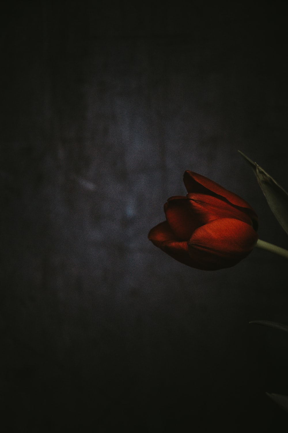 shallow focus photography of red tulips