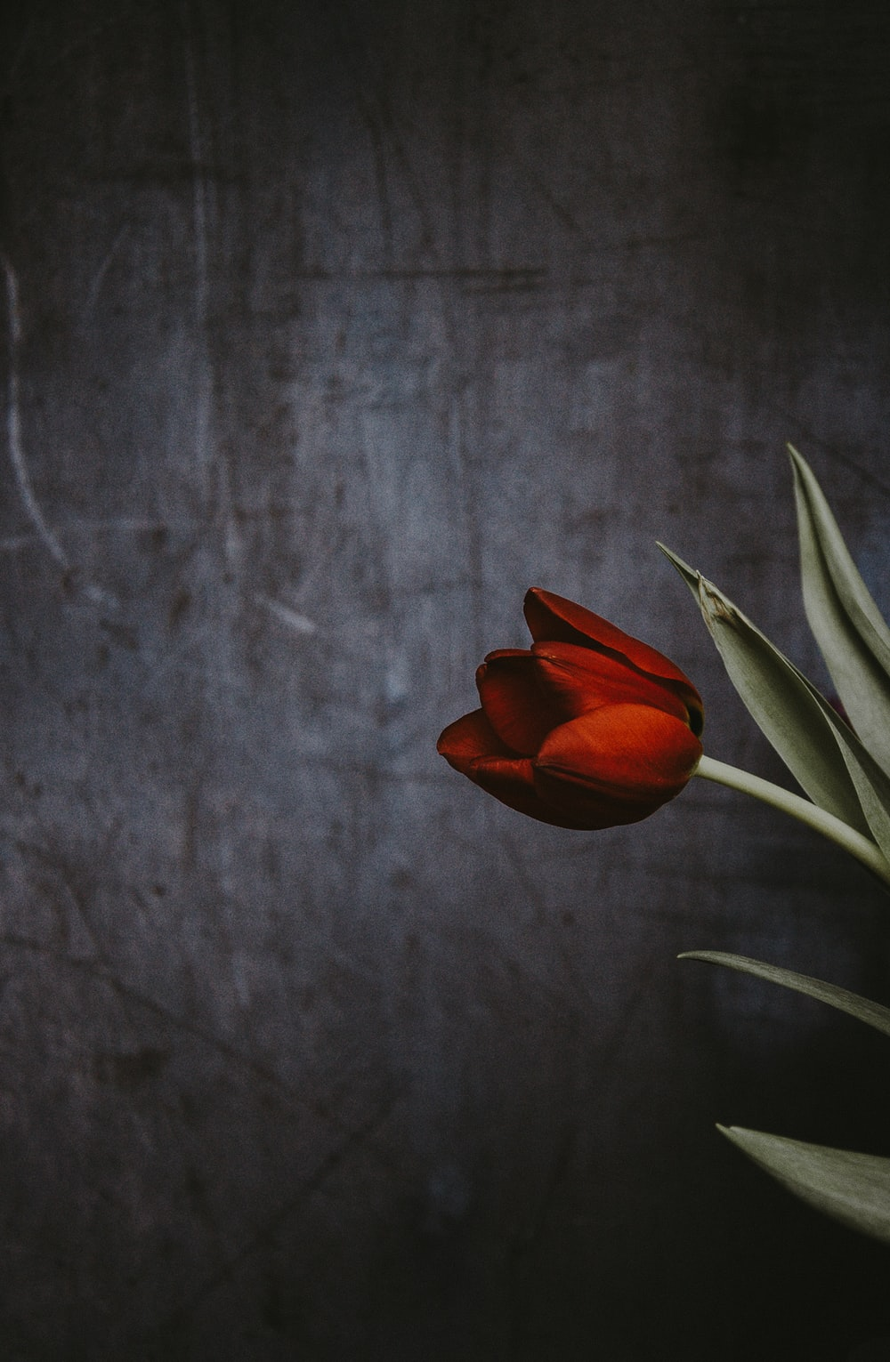 closeup photo of red tulip flower