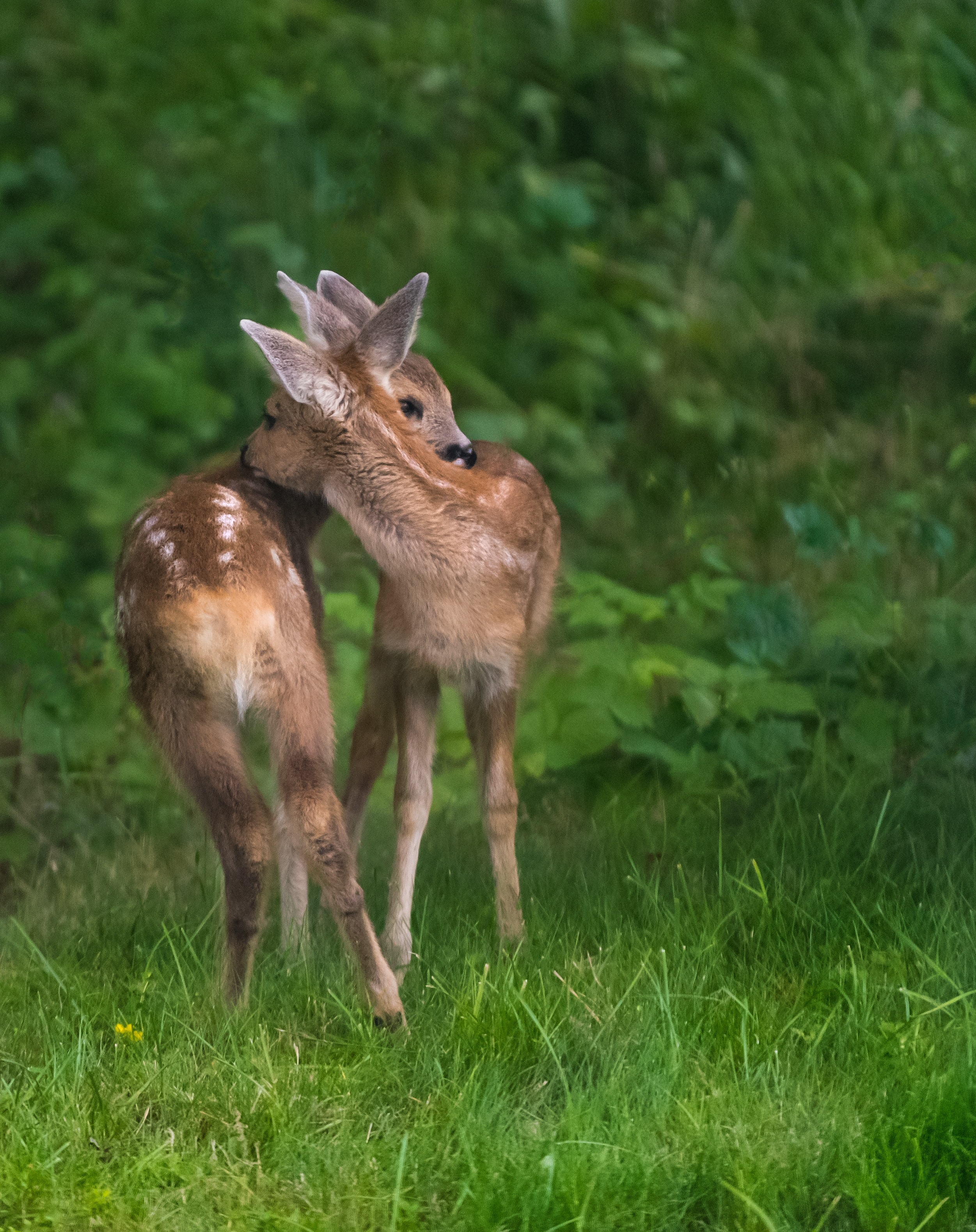 two brown deer standing on green grass