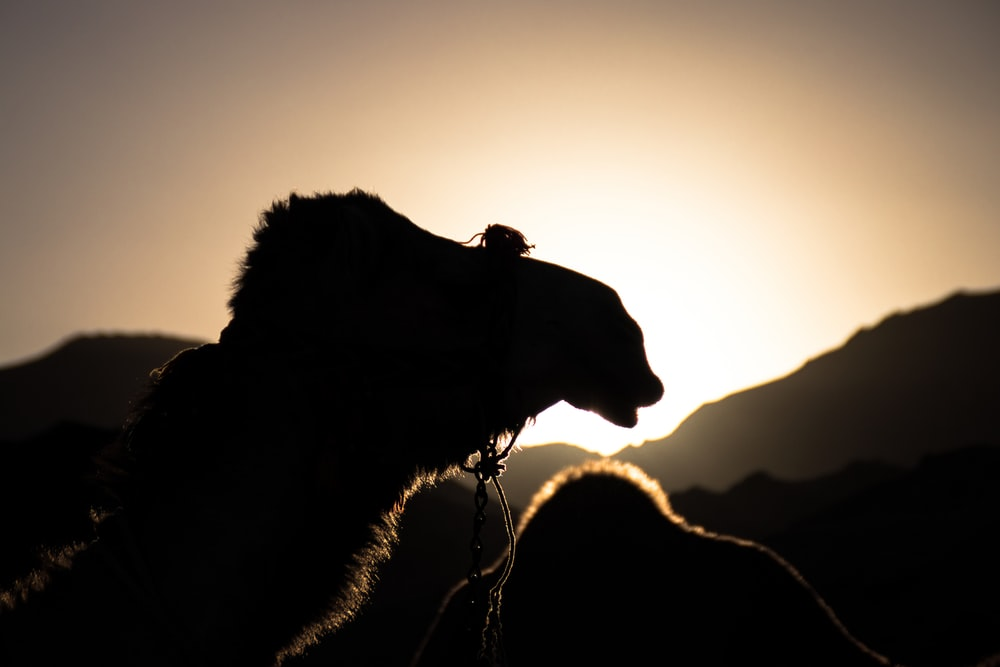 silhouette photo of camel