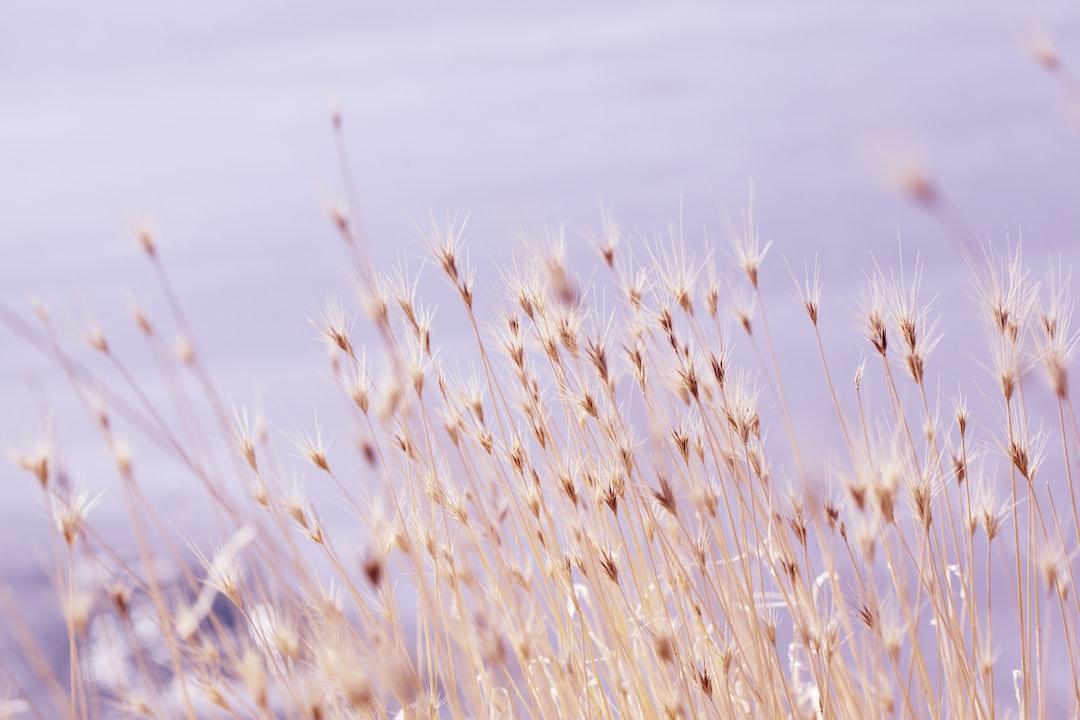 Dry foxtail grass at the Bear River Bird Refuge near Brigham City, Utah.