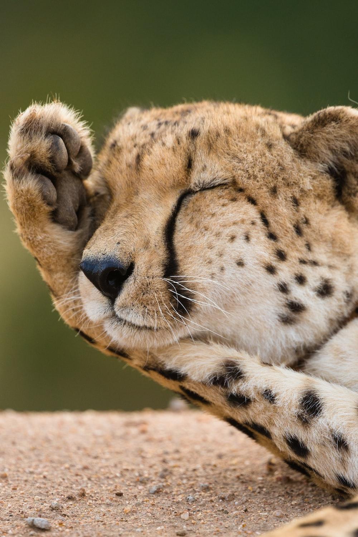 closeup photo of cheetah lying on ground