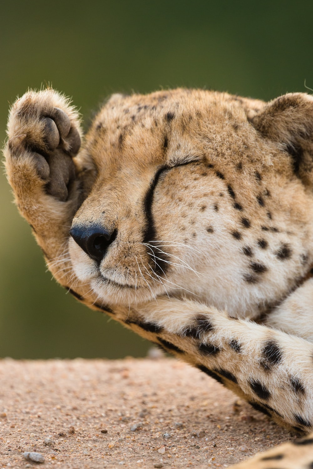 closeup photo of cheetah lying on ground