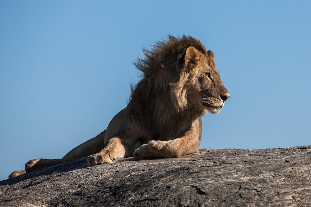 lion laying on ground facing sideways