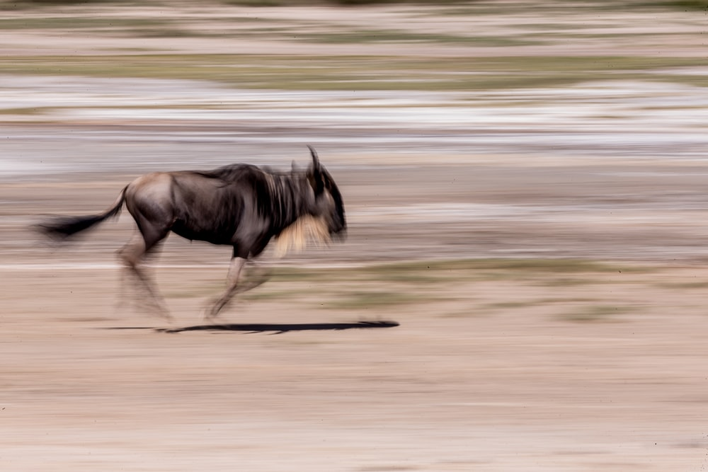 time lapse photography black goat
