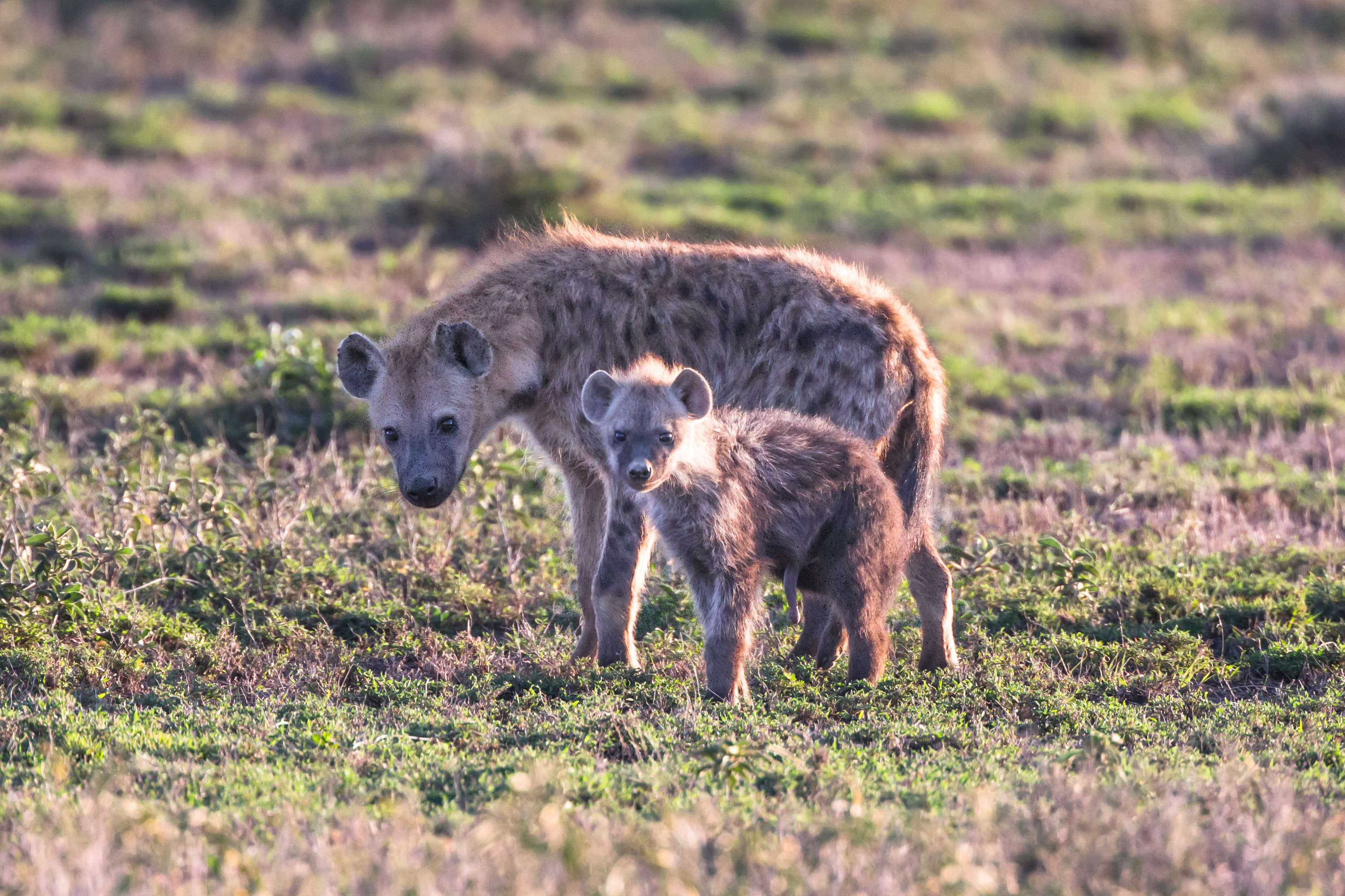 Image of: Spotted Hyena Wildlife Photography Of Two Wallabies Unsplash Hyenas Can Be Cute Too Photo By Jean Wimmerlin jwimmerli On Unsplash