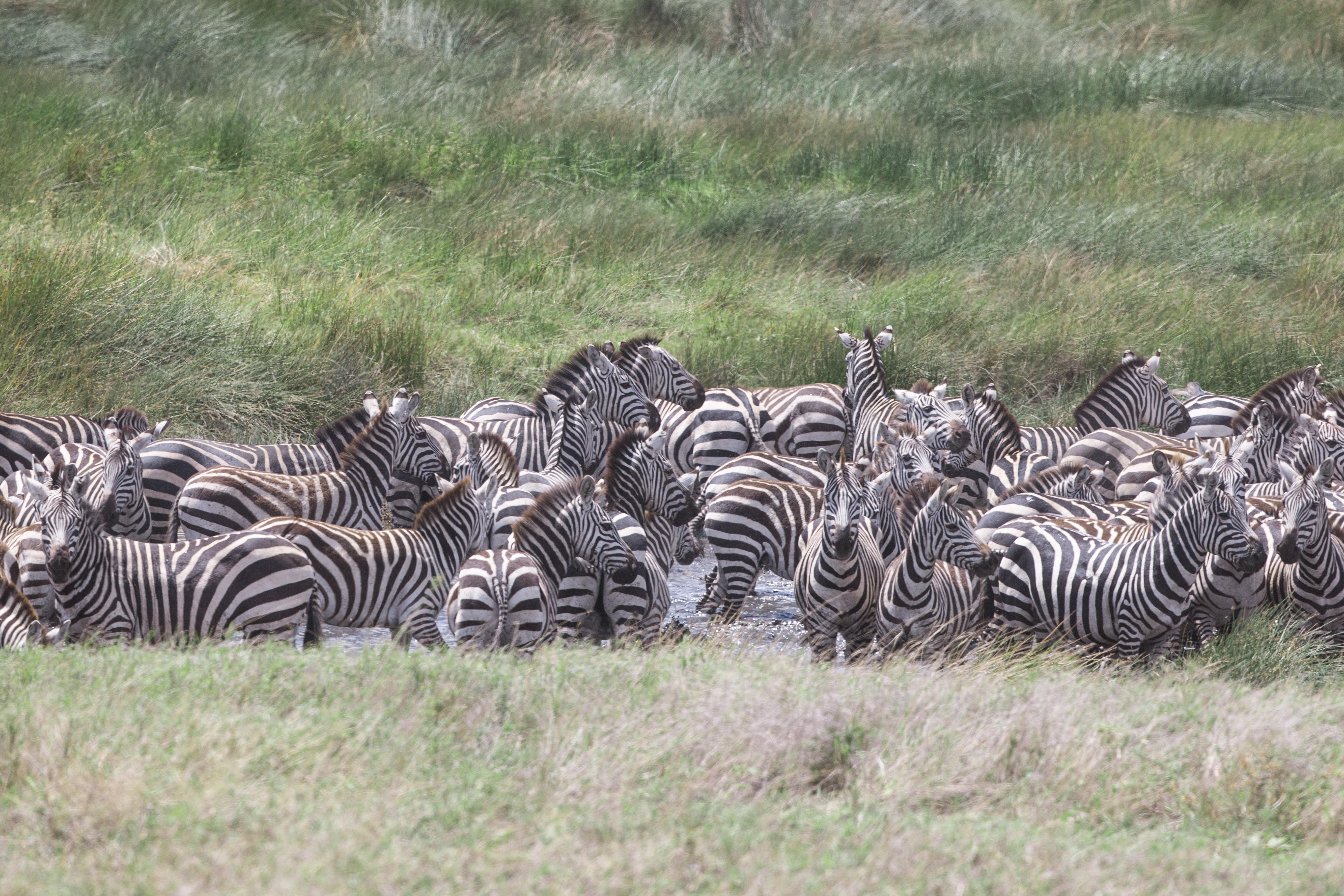 zebra resting on green grasses