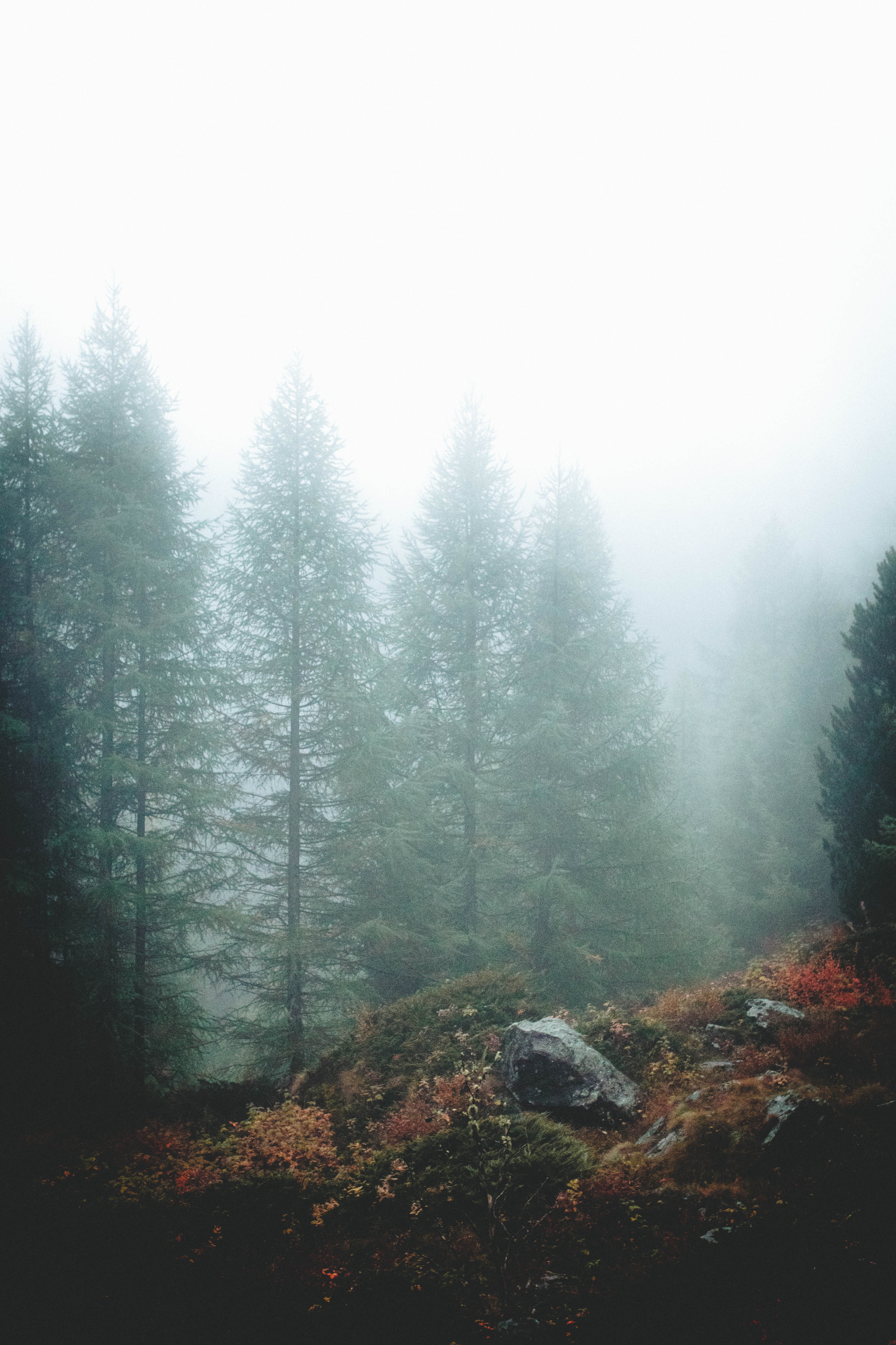 green pine tree covered by mist