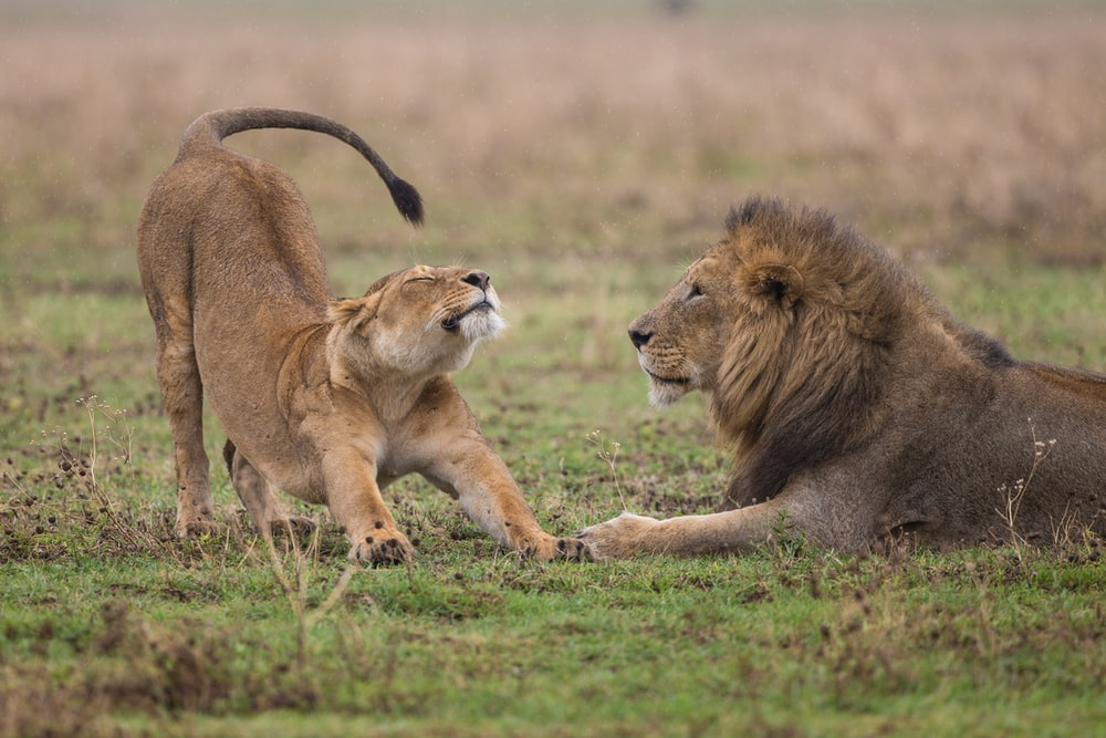 shallow focus photography of lioness standing beside lion