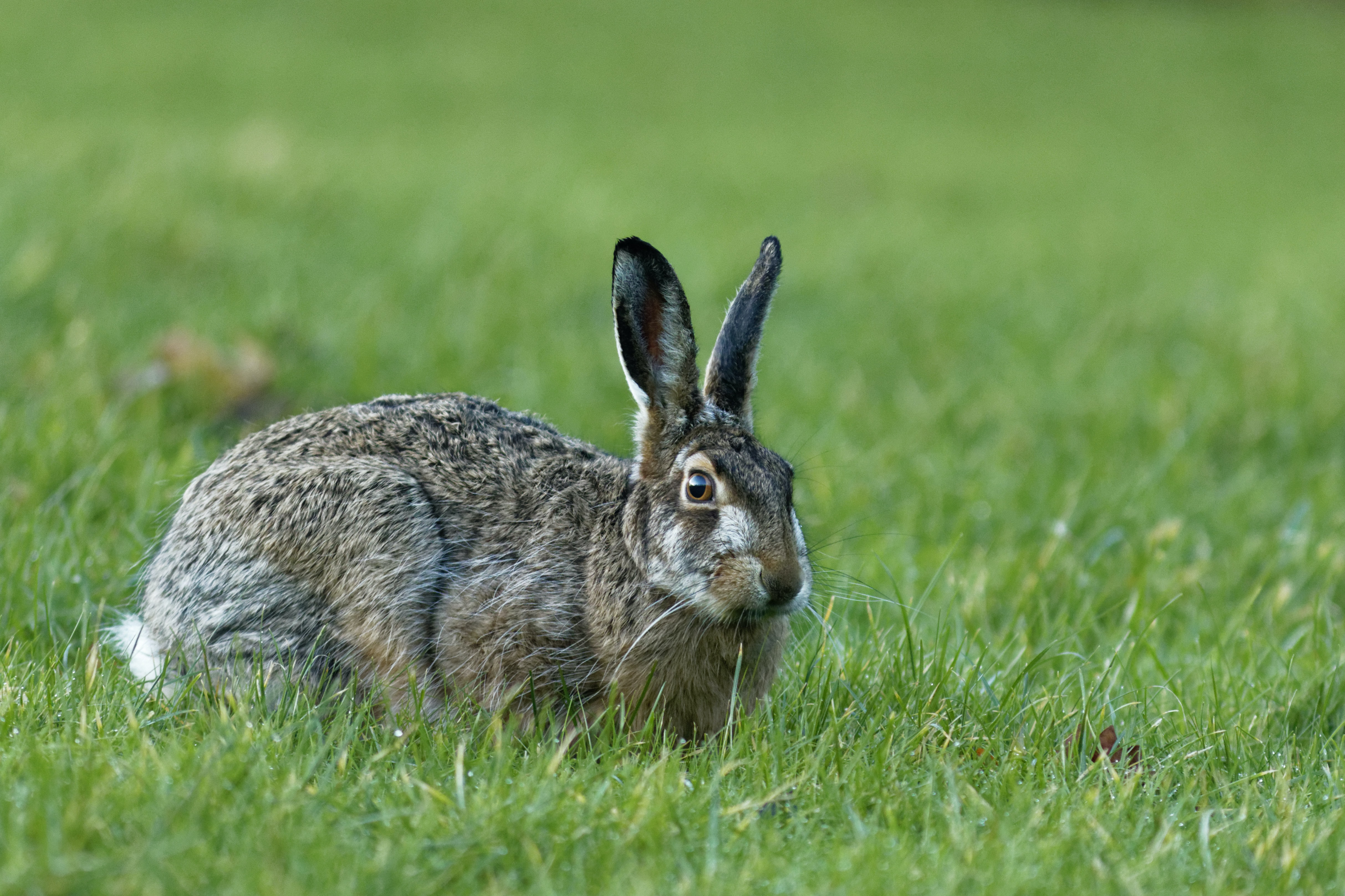 brown hare on green grass