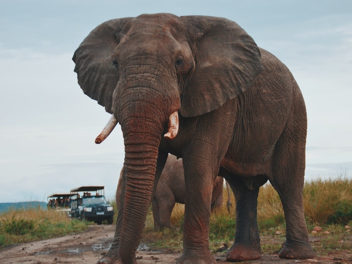 two elephants walking on ground near people riding vehicle