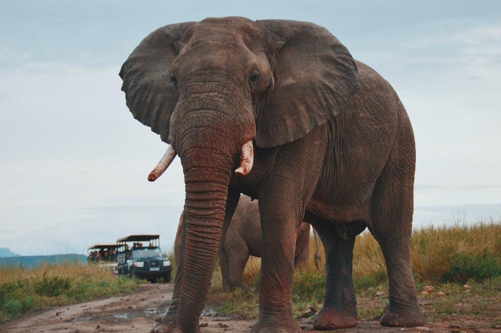 two elephants walking on ground near people riding vehicle