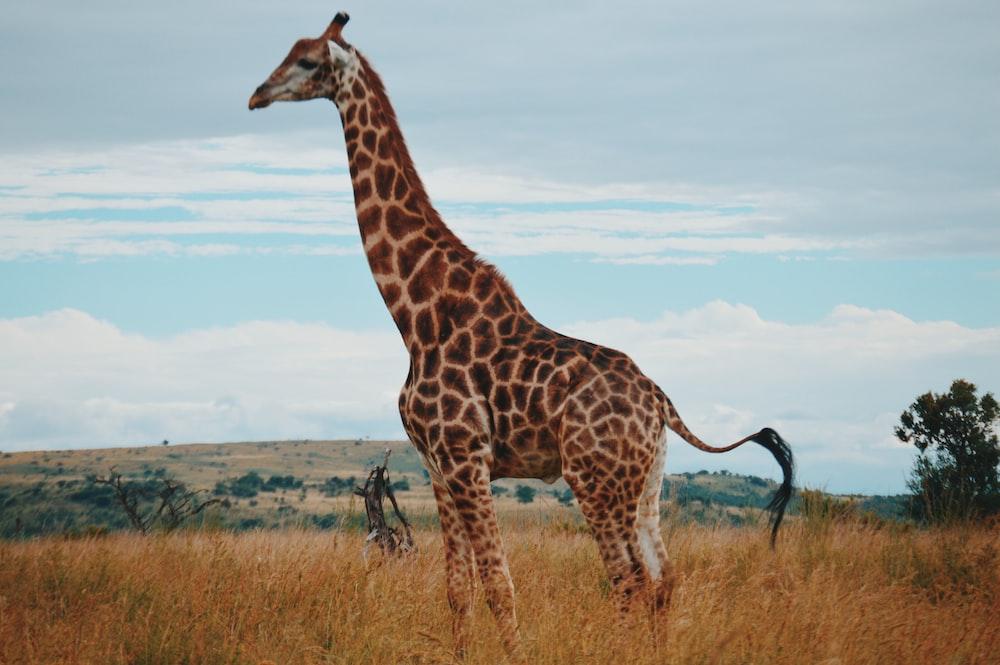 wildlife photography of a giraffe