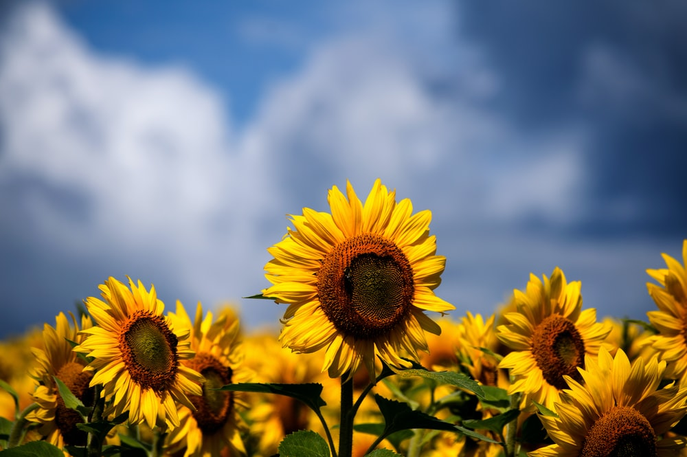 selective focus photography of bed of sunflowers