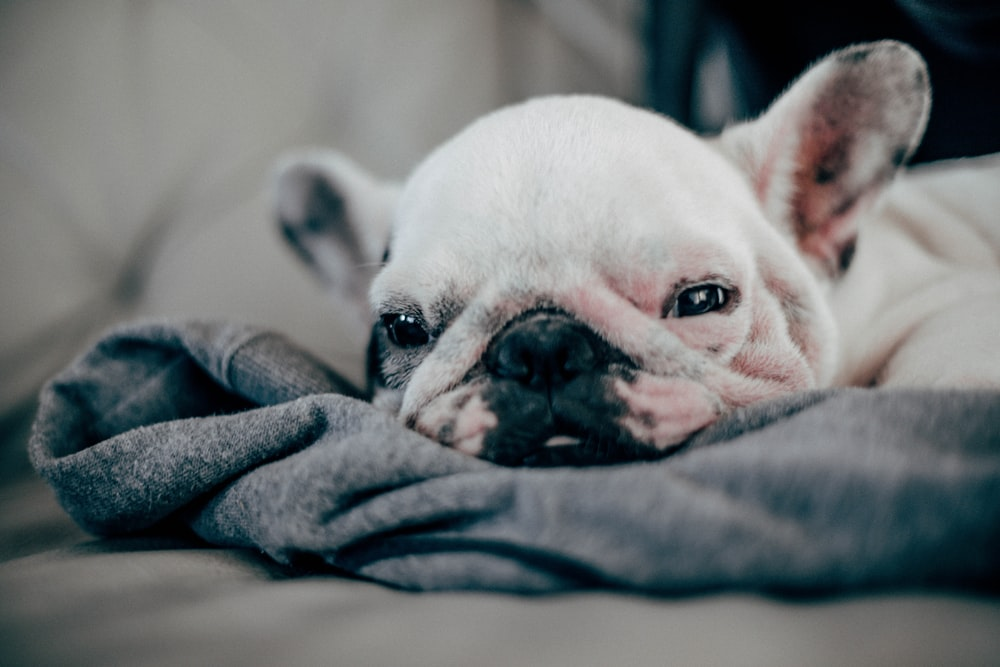 white French bulldog puppy laying on gray textile