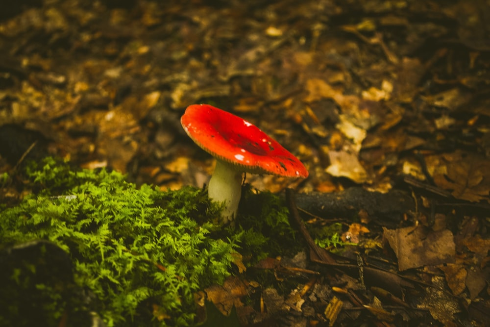 red and white mushroom on root