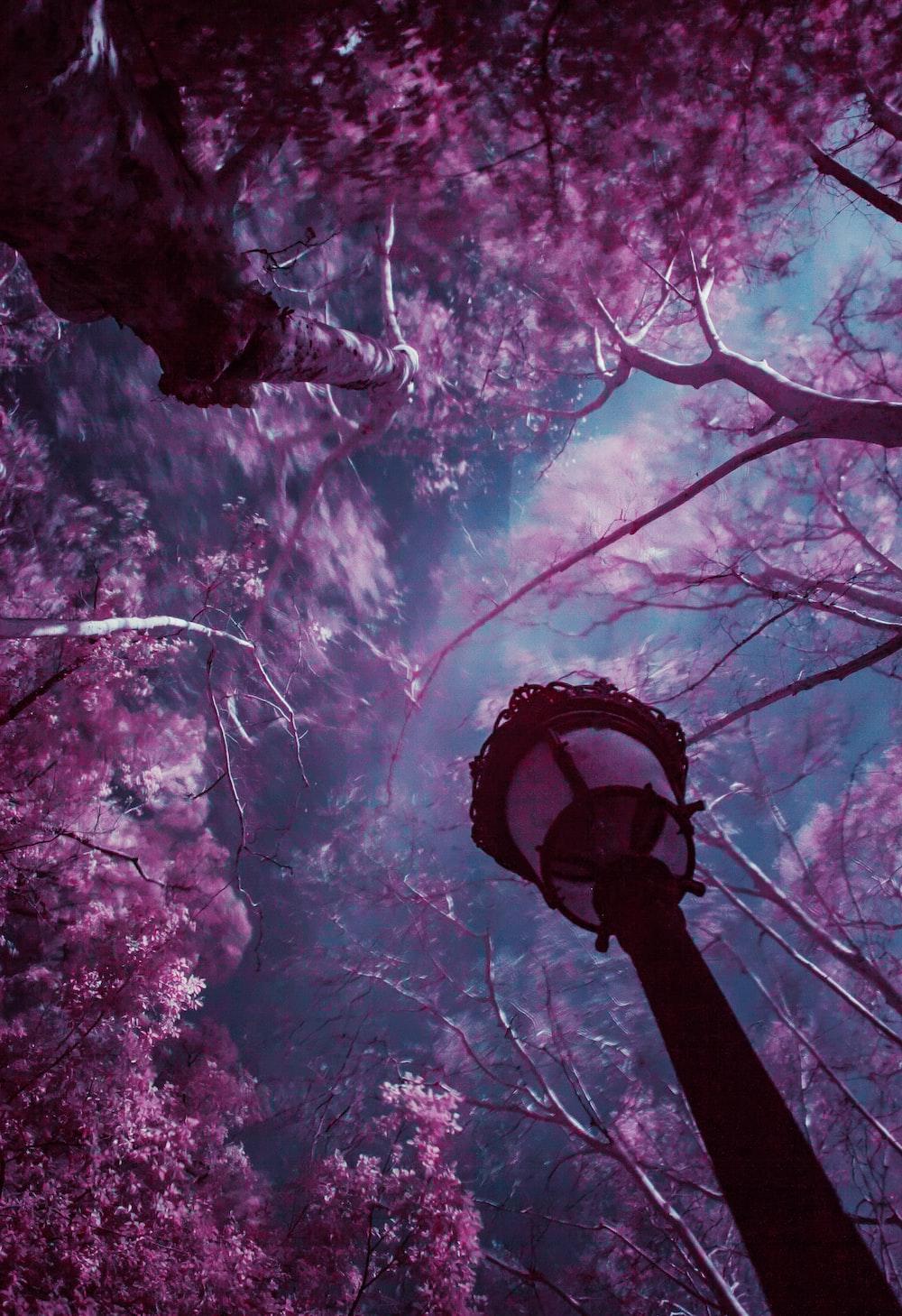 purple leafed trees under blue sky