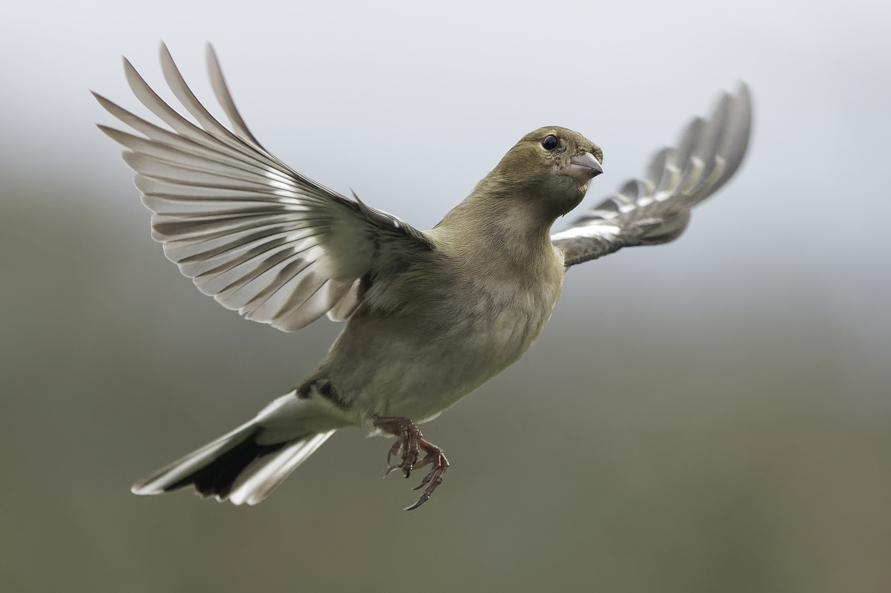 flying gray and white bird