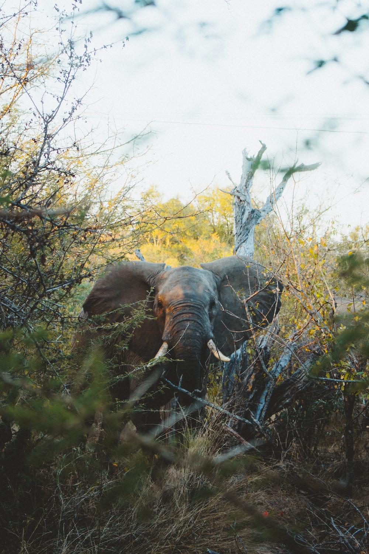 gray elephant in woods