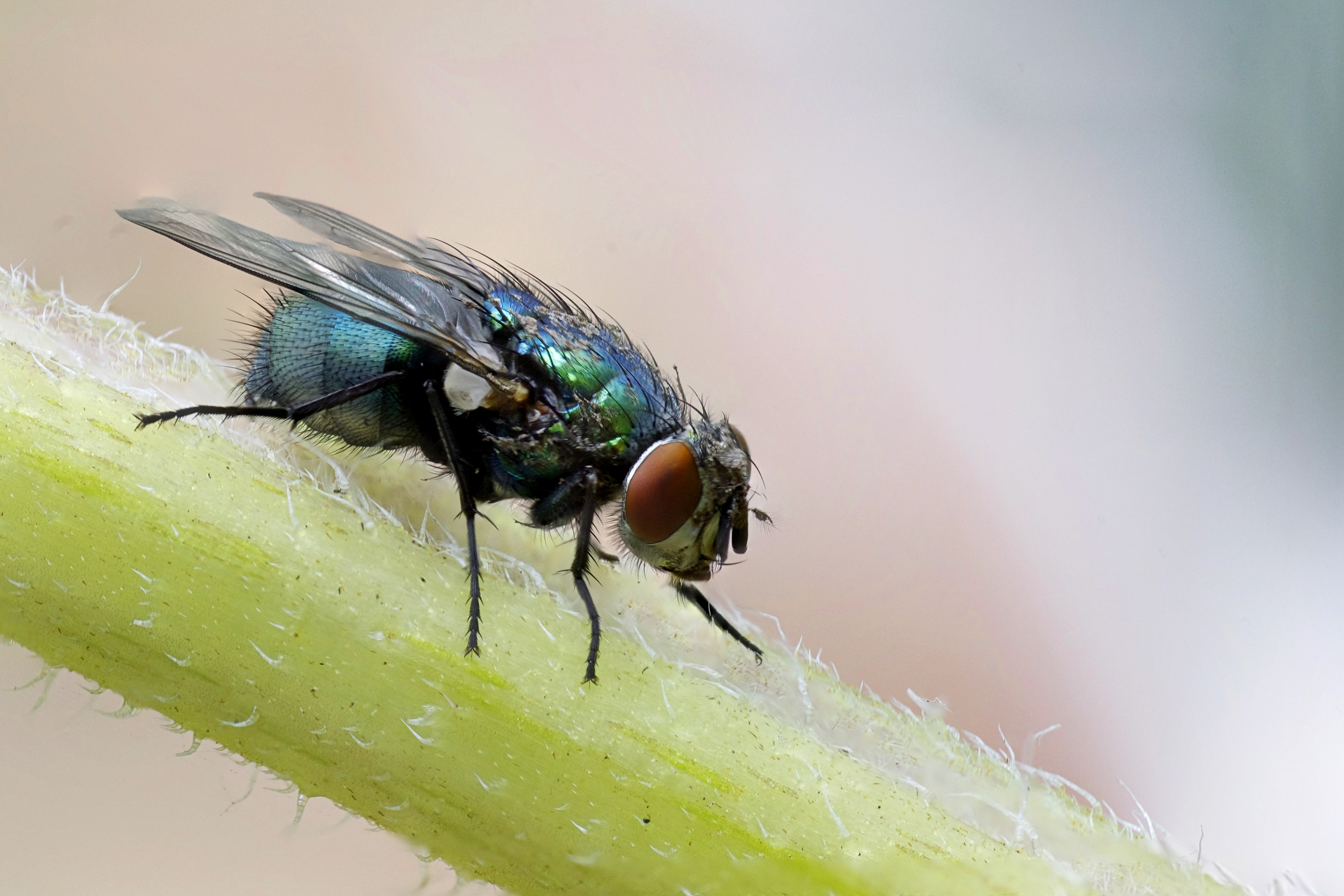 macro photograph of blue fly on plant's stem
