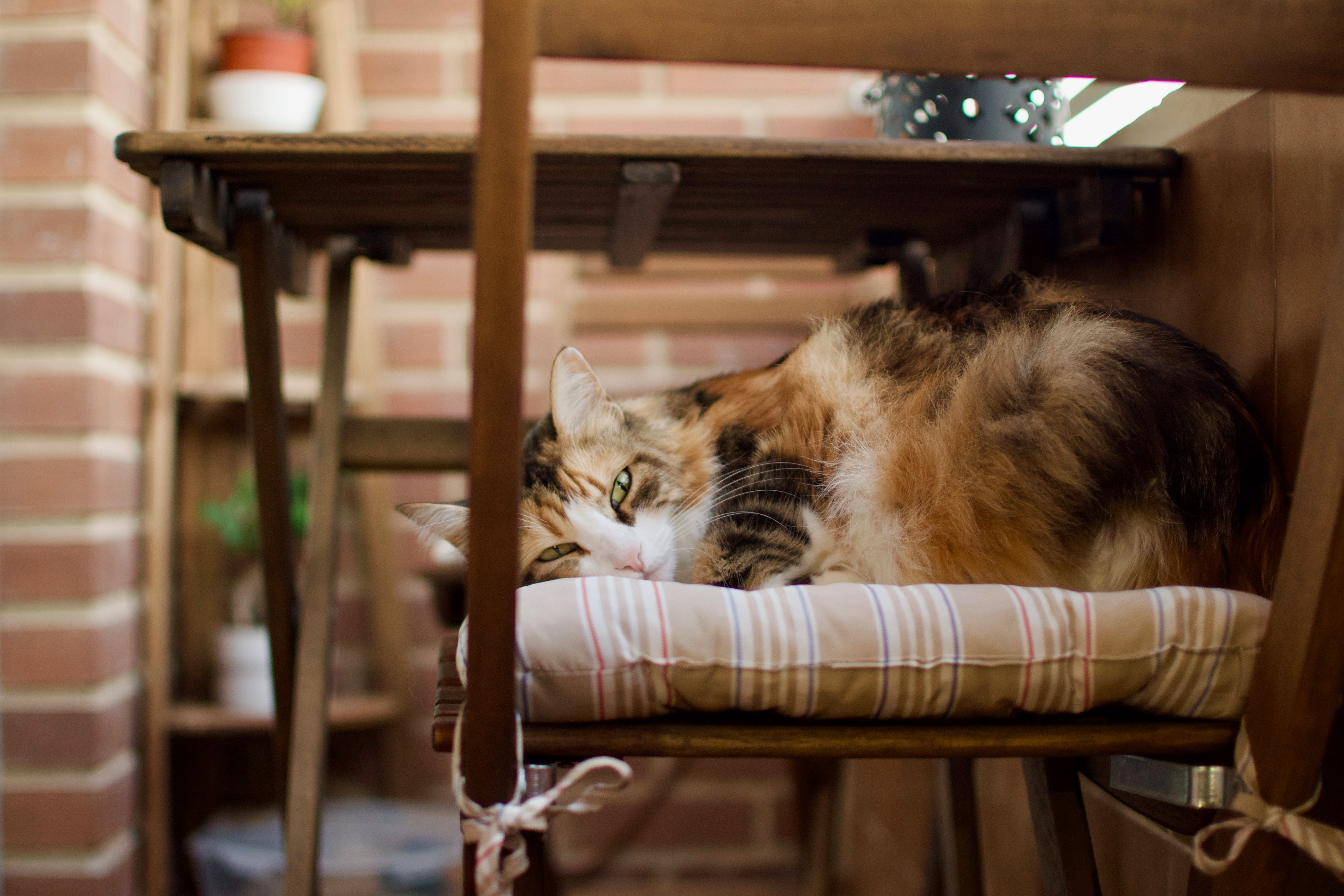 adult calico cat lying on chair near table