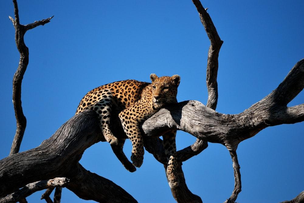 leopard lying on bare tree