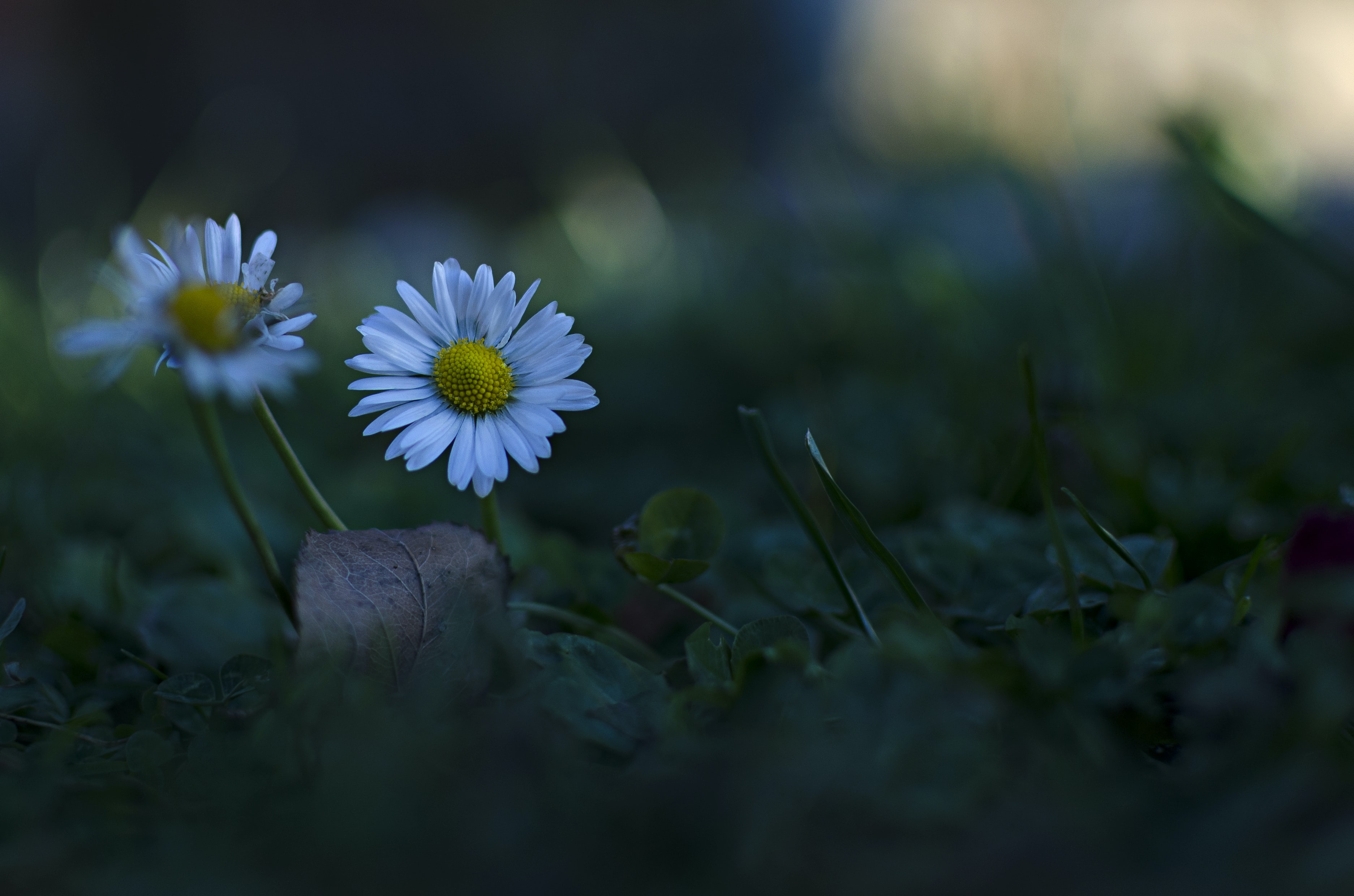 photo of two white daisy flowers