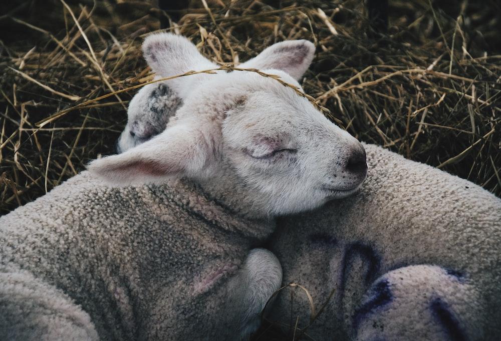 two gray sheep lying on hay