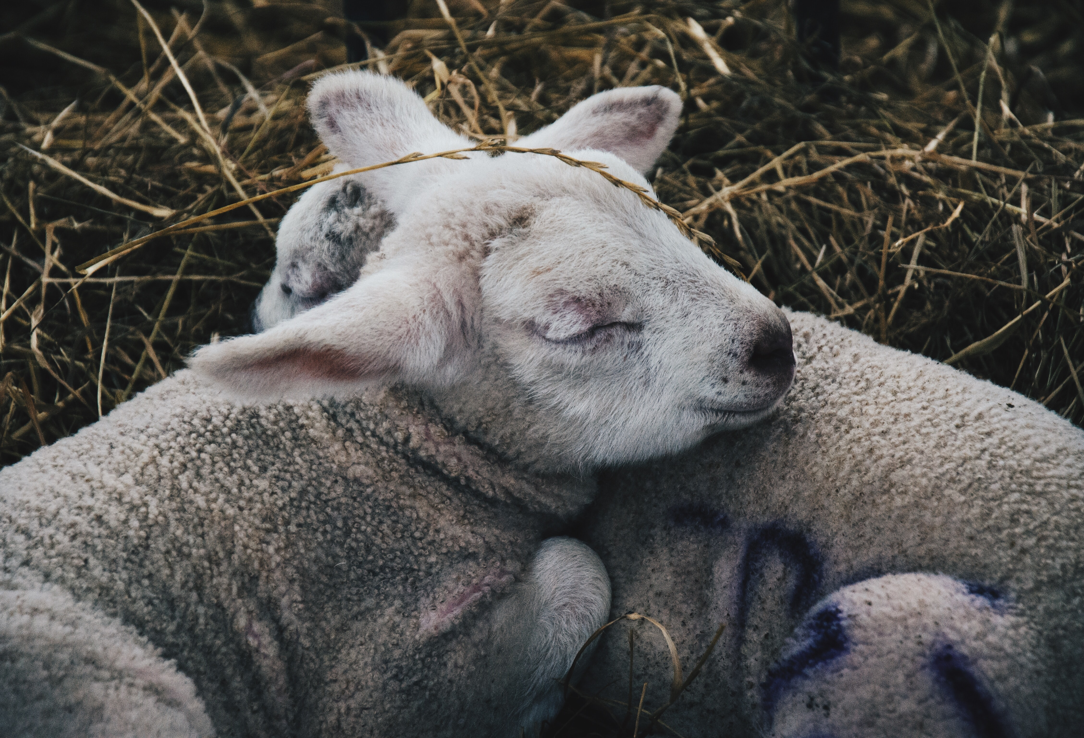 two gray sheep lying on hay