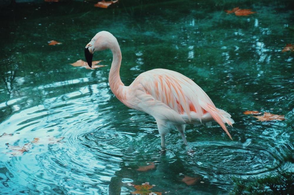 flamingon in body of water