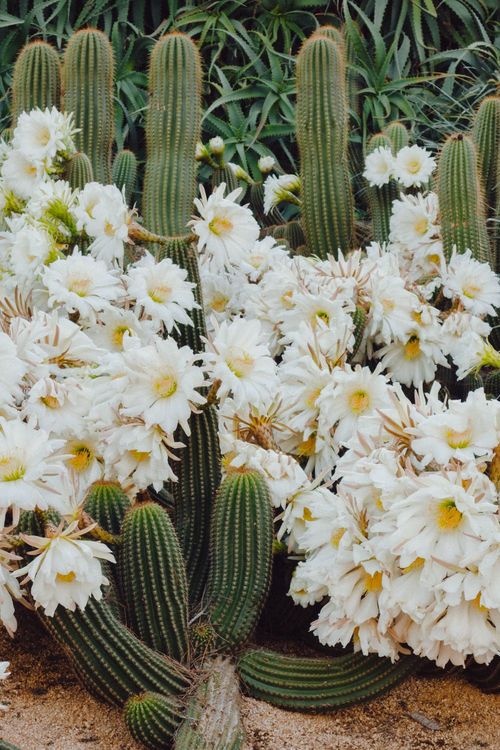 green cactus with flowers