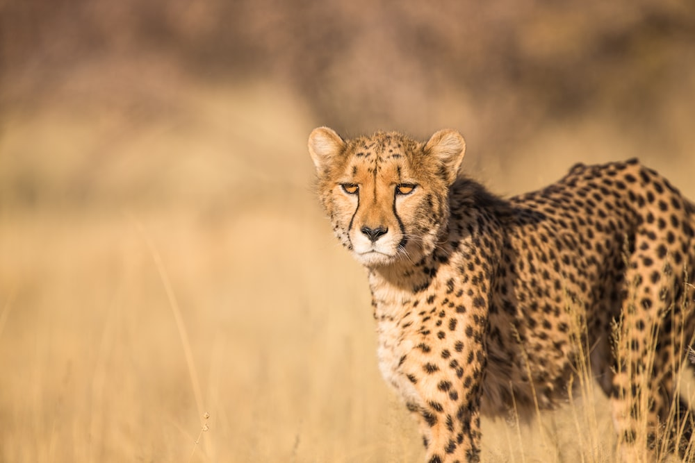 500 cheetah pictures hd download free images on unsplash