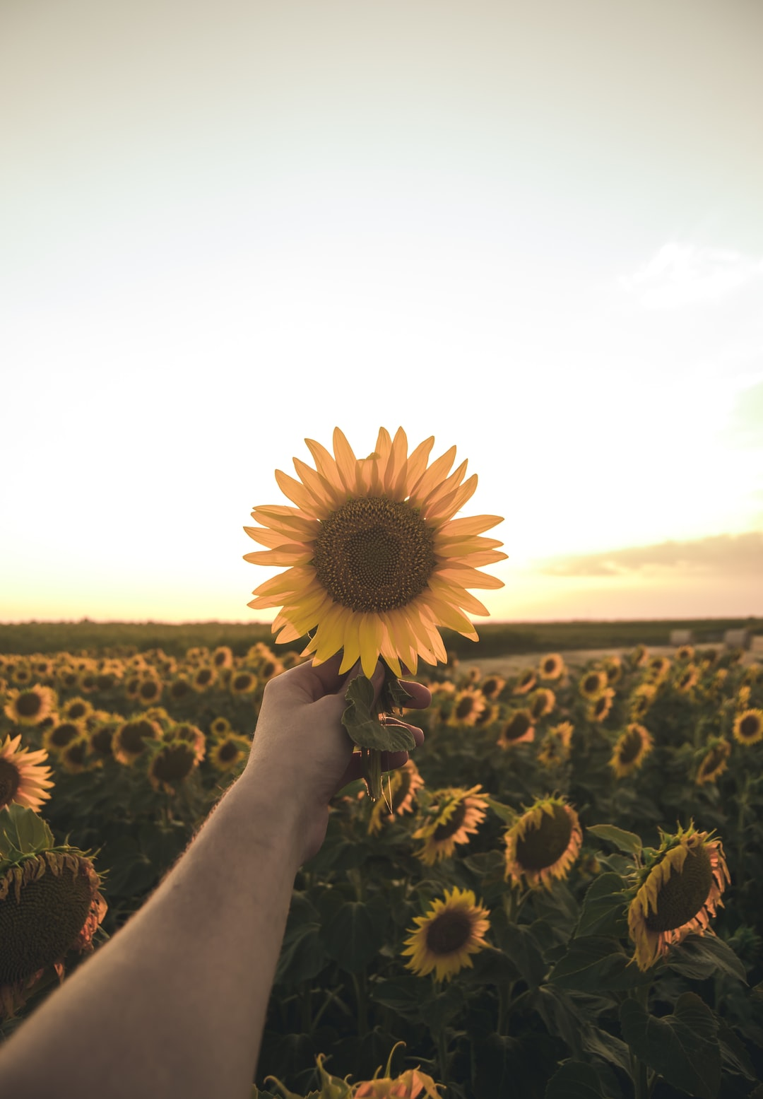 Person Holding Sunflower Photo Free Flower Image On Unsplash