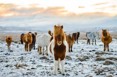 Icelandic horses on farm in winter